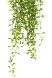 Climber Plant Isolated Royalty Free Stock Photo