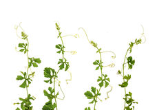 Climber plant Stock Images