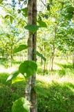 Climber plant on tree texture. Stock Photos