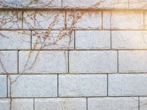 Climber plant with white brick wall lighting flare abstract background space for text.Old brick wall.Grungy white brick wall. Climber plant with white brick royalty free stock photography