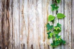 Climber plant with wood plank Stock Photos