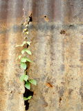 Climber plant on zince metal plate wall. Old Stock Images