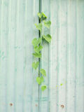 Climber plant on zince metal plate wall Stock Photos
