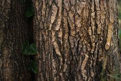 Climber plants on a big tree surface. Climber plants on a big tree bark surface Royalty Free Stock Photos