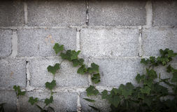 Climber Plants Living in the City Stock Images