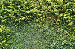 Climber plants on wall Royalty Free Stock Photo