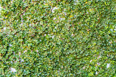 Climber tree onthe wall Royalty Free Stock Image