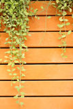 Climber on wooden fence for background Stock Image
