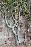 Climbering tree at the old stone wall Royalty Free Stock Photography