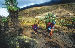 Climbers on Mt Kilimanjaro hiking. ARUSHA, TANZANIA - AUGUST 24: Climbers on the ascent of the upper slopes of Mt Kilimanjaro on August 24, 2002. Mt. Kilimanjaro Royalty Free Stock Photography