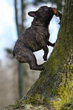 Climbing. Young french bulldog is climbing a tree trunk Stock Photography