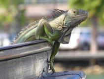Climbing. An iguana climbing on a ship Stock Photography