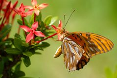 Climbing. Butterfly feeding on a red flower Stock Photo