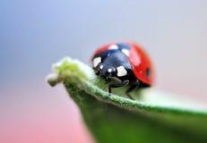 Climbing. Shot of a cute ladybird climbing a leaf Royalty Free Stock Photos