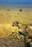 Climbing. Cheetah climbing hill Royalty Free Stock Image