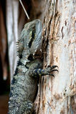 Climbing Australian Water Dragon Stock Photography