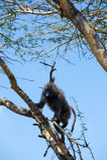 Climbing Baboon Stock Image
