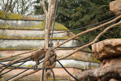 Climbing baboons Royalty Free Stock Photo