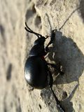 Climbing beetle reflecting silhouette Royalty Free Stock Photo
