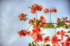 Climbing Boagainvillea plant with papery thin pink petals Royalty Free Stock Photo