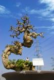 Climbing bonsai royalty free stock photo
