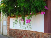 Climbing Bower Vine against white wall topped with rustic bricks royalty free stock images