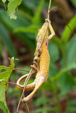 Climbing chameleon Stock Photos