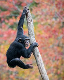 Climbing Chimp II. Young Chimpanzee Climbing in Tree royalty free stock photography
