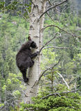Climbing Cub. A black bear cub climbs into a tree.  Mid Summer in Waterton National park, Canada Royalty Free Stock Images