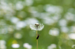 Climbing on a Dandelion. Beetle climbing on a Dandelion on a May morning Stock Photo