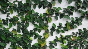 Climbing ficus pumila on white wall stock video