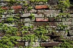 Climbing fig. Or creeping fig plant growing on the crack of brick wall Stock Photo