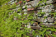 Climbing fig. Or creeping fig plant growing on the crack of brick wall Royalty Free Stock Photos