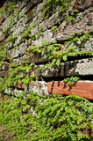 Climbing fig. Or creeping fig plant growing on the crack of brick wall Royalty Free Stock Photo