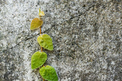 Climbing Fig. On wall Royalty Free Stock Photos