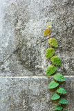 Climbing Fig. On wall Stock Image