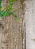 Climbing fig (Ficus pumila L.). Stock Photo