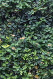 A climbing fig leaves wall background Stock Images
