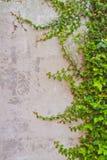 Climbing fig tree Stock Photo
