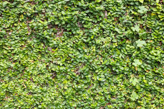 Climbing fig wall background with Ivy Gourd Royalty Free Stock Image
