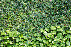 Climbing fig on the wall with golden Pothos,devil's lvy Stock Images