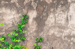 Climbing fig on wall. Ornamental plants on wall background Stock Photos