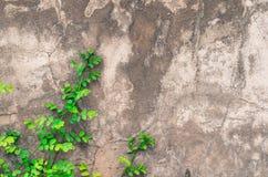 Climbing fig on wall Stock Photos