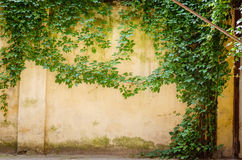 Climbing fig on wall Royalty Free Stock Photos