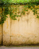 Climbing fig on wall. A texture of climbing fig on wall Royalty Free Stock Photos