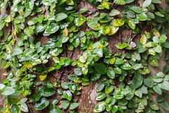 Climbing fig wrapped around tree in the rain forest. tropical Stock Photo