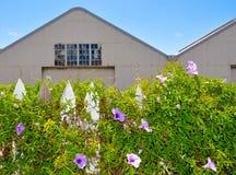 Climbing Flowering Vine: Picket Fences Royalty Free Stock Image