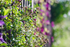 Climbing flowers on a fence Royalty Free Stock Images