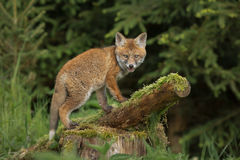 Climbing fox Stock Photo
