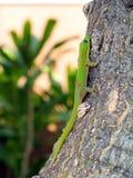Climbing Gecko. Madagascar Day Gecko climbing tree trunk Stock Photos